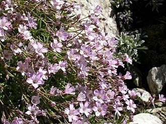 Gypsophila repens - Image: Gypsophila repens 1
