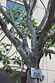 HKCL 香港中央圖書館 CWB tree green leaves 高山榕 Ficus altissima Oct-2017 IX1 05.jpg