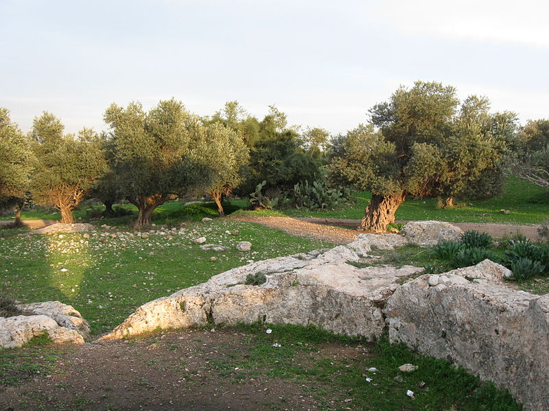 grass, rocks and olive trees