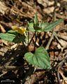 Halberd-leaf Violet (4506718814).jpg