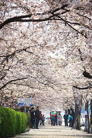 Hangang Park - Yeouido Hangang Park during spring