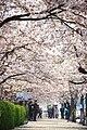 Hangang Yeouido Spring Flower Festival (4403576688).jpg