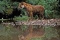 Harimau sumatera.jpg