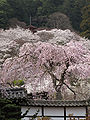 Hase-dera five Storeyed Pagoda and the cherry trees from the main hall of a Buddhist temple.jpg