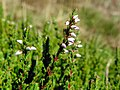 Heather (Calluna vulgaris) (24330900881).jpg