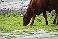 Hebridische Kühe mögen Algen.jpg