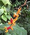 Hedychium horsfieldii 02.jpg
