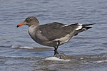 Heermann's Gull winter plumage.jpg