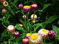 Helichrysum bracteatum or Xerochrysum bracteatum from Lalbagh Flower Show August 2012 4591.JPG
