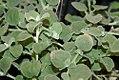 Helichrysum petiolare White Licorice 0zz.jpg