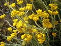 Helichrysum splendidum 2c.JPG