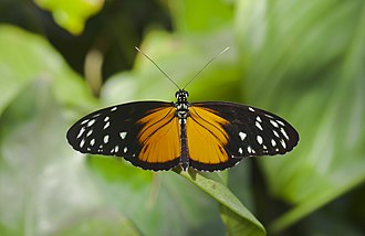 Heliconius hecale - Dorsal view