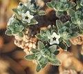 Heliotropium pulvinum flowers 2.jpg