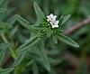 Heliotropium strigosum in Keesaraguda, AP W IMG 9143