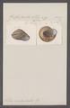Helix indusiata - - Print - Iconographia Zoologica - Special Collections University of Amsterdam - UBAINV0274 089 01 0087.tif