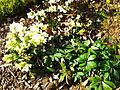 Helleborus niger in Jardin des Plantes 01.JPG