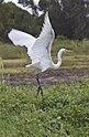 Henry Great Egret in flight-1 (7260906802).jpg