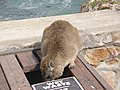 "Hermanus - Rock Hyrax or ""Dassie"" - panoramio (1).jpg"