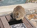 "Hermanus - Rock Hyrax or ""Dassie"" - panoramio (2).jpg"