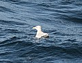 Herring Gull, 19 miles offshore of Muskegon, MI, 8 October 2014 (15472598476).jpg