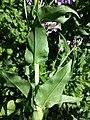 Hesperis matronalis subsp. matronalis sl6.jpg