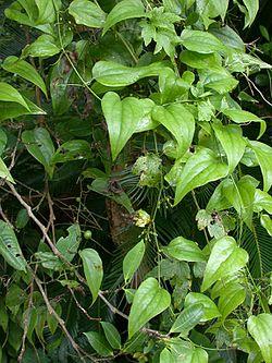 Lục Bát Hoa ĐV - Page 31 250px-Heterosmilax_japonica_karasukibasnkri01