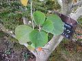 Hibiscus hamabo2.jpg