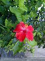 Hibiscus rosa-sinensis (Jaswand) flower 01.jpg