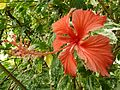 Hibiscus rosa-sinensis cv cooperi, blom, Manie van der Schijff BT.jpg