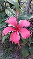 Hibiscus rosa - sinensis.jpg