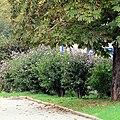 Hibiscus syriacus habitus.jpg