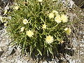 Hieracium intybaceum R0018235.JPG