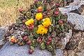 Hike down the Rio Calca just N of Chiva, Peru…cactuses (8444406120).jpg
