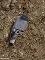 Hill Pigeon (Columba rupestris) (15708352428).jpg