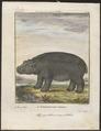 Hippopotamus amphibius - 1700-1880 - Print - Iconographia Zoologica - Special Collections University of Amsterdam - UBA01 IZ21900049.tif