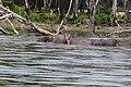 Hippopotamus amphibius of Kenya 07.jpg