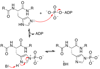 Histidine kinase - Proposed mechanism of histidine kinase, depicting phosphorylation of the tele-nitrogen. Phosphorylation of the pros-nitrogen occurs through the other histidine tautomer. B = unspecified enzymatic base.