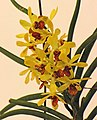 Holcosianda Sweet Jenny -台南國際蘭展 Taiwan International Orchid Show- (25970056117).jpg