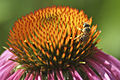 Honeybee on purple coneflower (5871111487).jpg
