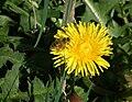 Honigbiene auf Löwenzahnblüte.JPG