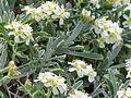 Hormathophylla spinosa 002.JPG