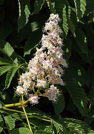 Aesculus hippocastanum - Inflorescence