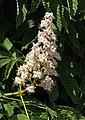 Horse chestnut flowers in Brodalen 4.jpg