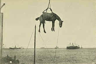 A horse destined to serve in the war, being off-loaded in Port Elizabeth Horses on board ship - a guide to their management-page69.jpg