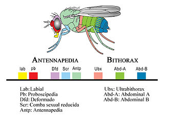 Gene cluster - Hox genes have been observed among various phylum. Eight genes make up the Hox gene Drosophila. The number of Hox genes may vary among organisms, but the Hox genes collectively make up the Homeobox family.