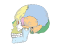 Human skull side simplified.PNG