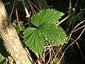 Humulus lupulus (14353021162).jpg