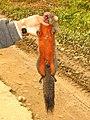 Hunting red bellied squirrel IMG 8746 05.jpg