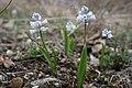 Hyacinthella leucophaea Lempes3.jpg