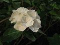 Hydrangea macrophylla 08.JPG